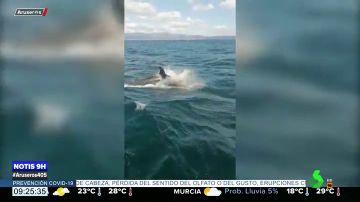 Un grupo de orcas atacan y rompen el timón de un velero de la Armada en las Rías Baixas