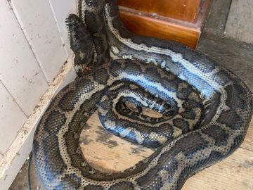 Una de las serpientes que cayó del techo
