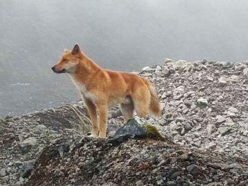 Imagen de un perro salvaje de las tierras altas de Nueva Guinea