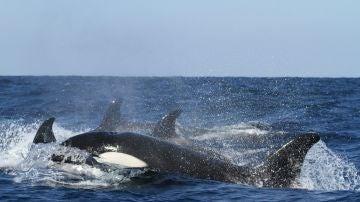 La orca que navegó 1.000 millas con el cadáver de su cría muerta vuelve a ser madre