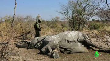 Resuelto el misterio de los cientos de elefantes muertos en Botswana: bebieron agua envenenada