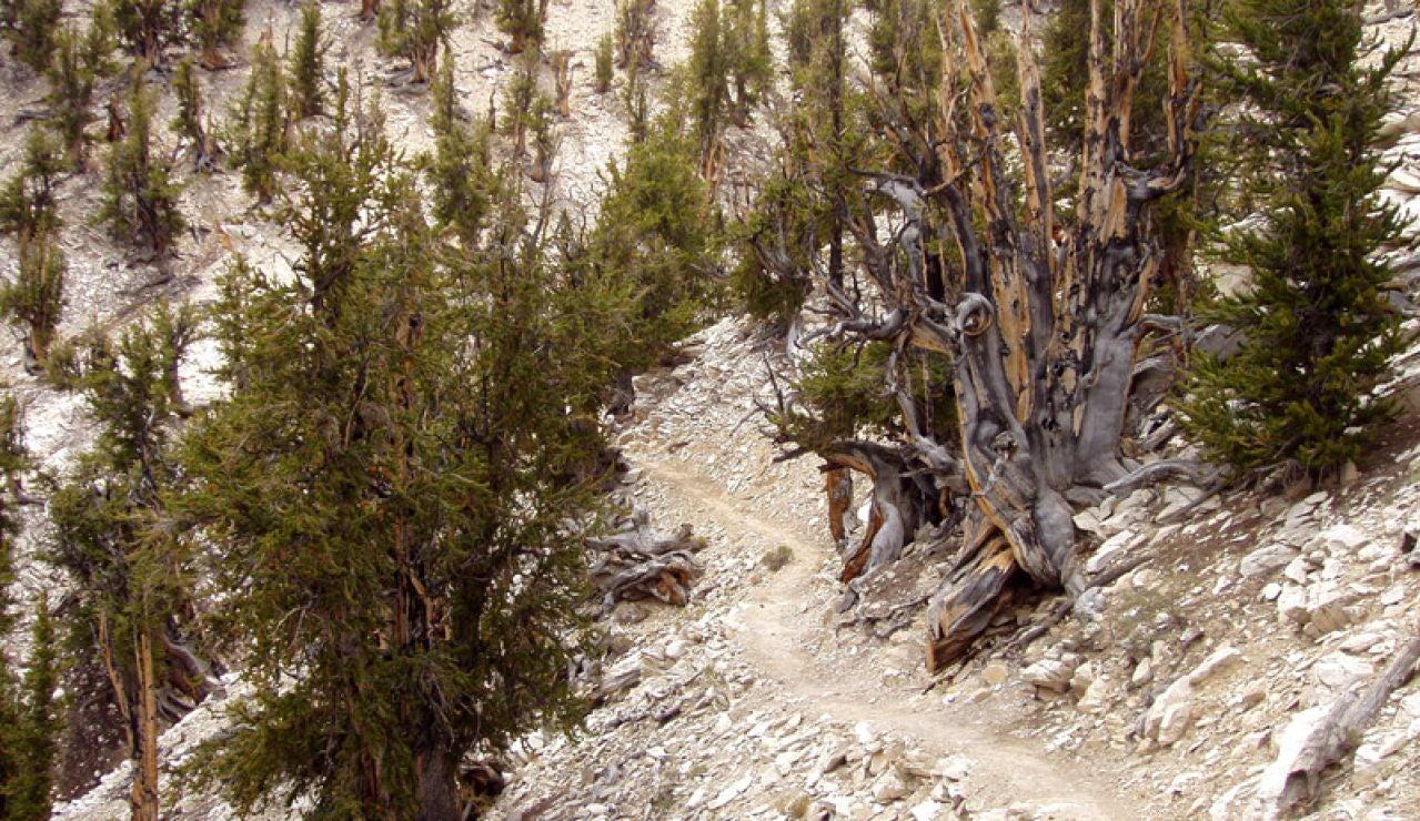 Huerto de Matusalén del Ancient Bristlecone Pine Forest, en White Mountains, Inyo County, California.