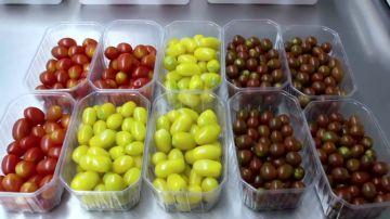 ¿De dónde salen los tomates cherry pera?: visitamos el laboratorio que crea las semillas de estas variedades