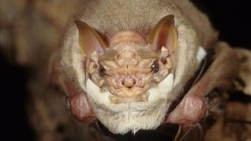 Murciélago de cara arrugada