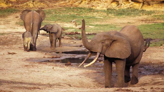 El marfil de un buque hundido del s. XVI da nuevas pistas sobre los elefantes del Africa Occidental