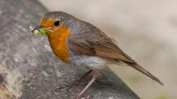 Las aves insectivoras escogen a las presas por su color