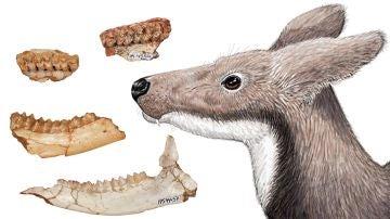 La dieta del ciervo almizclero extinto revela por que dos grupos de primates del Mioceno no convivieron