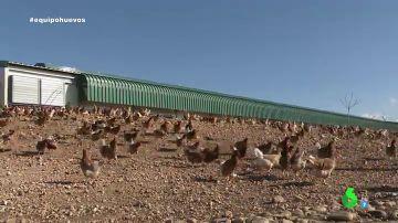 Imagen de gallinas ecológicas