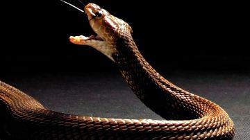 Cobra escupidora