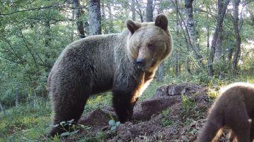 Un oso Pardo en Asturias. FAPAS
