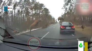 El impactante cruce de una manada de ciervos con dos coches en una carretera polaca