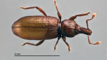 La especie Baezia aranfaybo