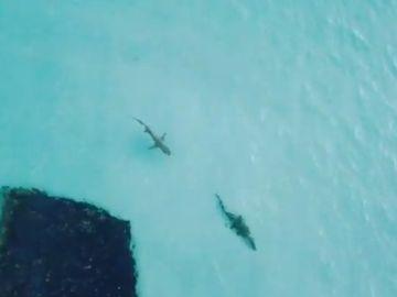 Persecución de un tiburón a un cocodrilo en Australia