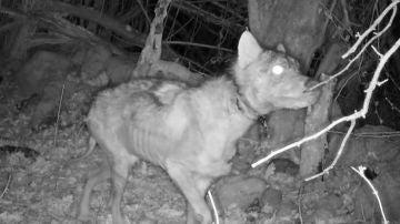 Imagen de un lobo, esquelético y con sarna, publicada por el Fondo de Protección Animal