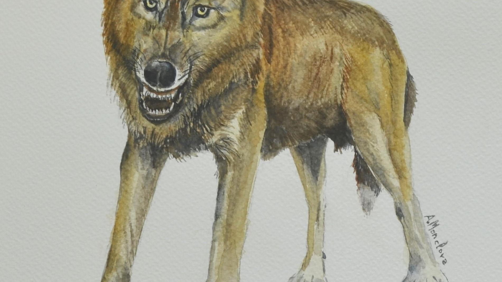 Reconstrucción del pequeño lobo de la especie Canis orcensis