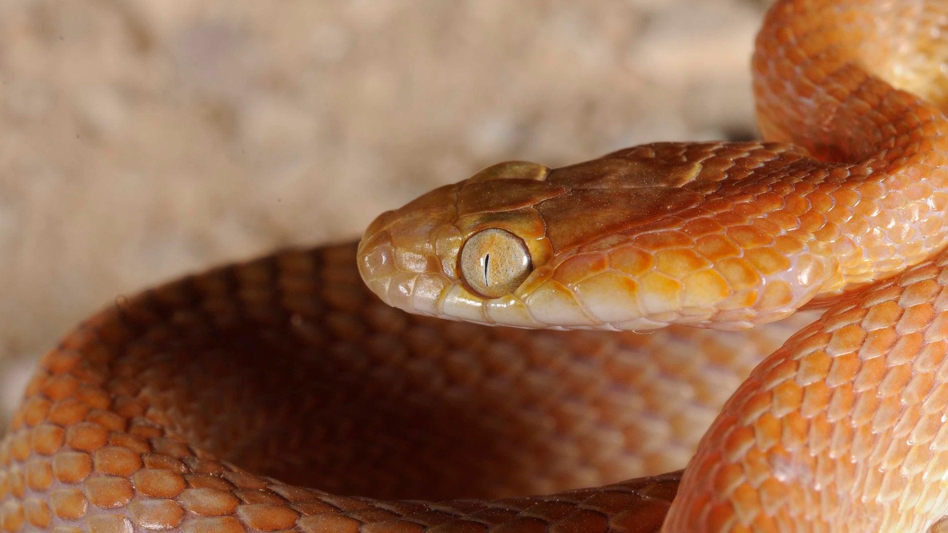 La separacion entre Africa y Arabia dejo huella en los reptiles actuales