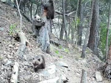 Primeras crías de oso pardo en Los Pirineos