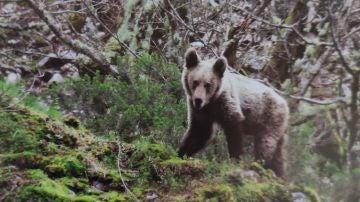 Una mujer herida muy grave por el ataque de un oso en Sonande