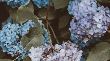 Cómo y cuándo podar las hortensias para que vuelvan a florecer