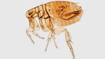 Cómo eliminar las pulgas de casa: métodos efectivos, naturales y rápidos