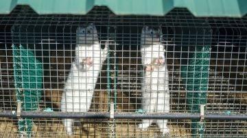 Imagen de visones en una granja gallega