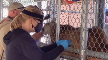 Imagen de un zoo de California que vacuna a sus animales contra el coronavirus