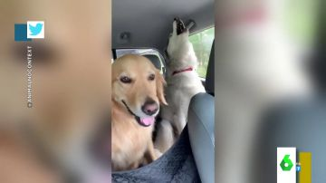 El divertido vídeo en el que dos huskys montan un concierto de aullidos en pleno viaje ante un impasible Golden