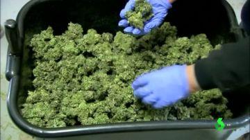 Un marco legal para el uso del cannabis medicinal