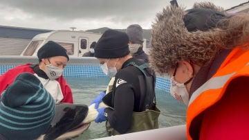 Voluntarios dan de comer a la orca Toa