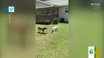 El 'vacile' viral de un perro a otro cuando trata de quitarle el juguete