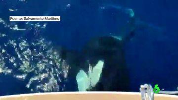orcas atacan barcos