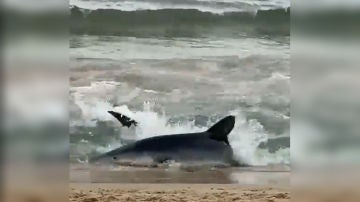 Susto en Benidorm: un tiburón azul obliga a vaciar de bañistas la playa de Poniente