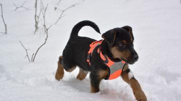 Imagen de archivo de un perro Jagdterrier