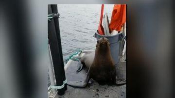 Una mujer expulsa a un león marino que se subió a su barco para evitar que las orcas lo rodeen